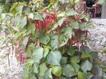 竹富島の植物